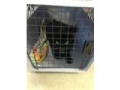 Adopt rocky a All Black Domestic Shorthair / Domestic Shorthair / Mixed cat in