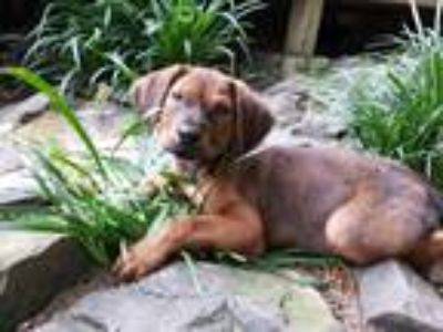 Adopt Frankie a Tan/Yellow/Fawn Hound (Unknown Type) / Mixed dog in Brattleboro