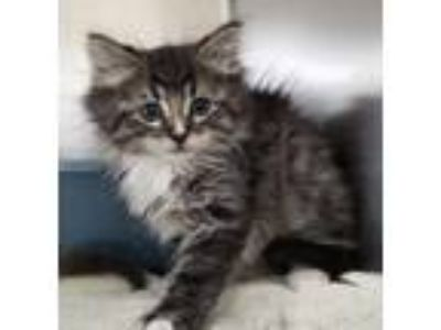 Adopt Kale a Domestic Long Hair, Tabby