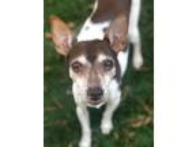 Adopt Hunnie a Rat Terrier, Fox Terrier
