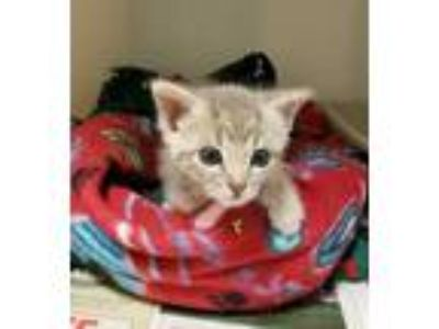 Adopt Fritz a Gray or Blue Domestic Shorthair / Domestic Shorthair / Mixed cat