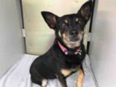 Adopt LADY a Miniature Pinscher
