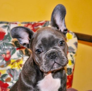 French Bulldog PUPPY FOR SALE ADN-106053 - Blue Boy
