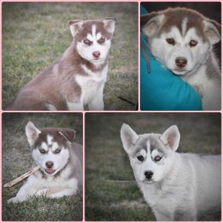 Siberian Husky PUPPY FOR SALE ADN-73592 - Husky puppies