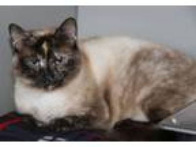 Adopt Sapphire (Declawed & Combo Tested) a Siamese