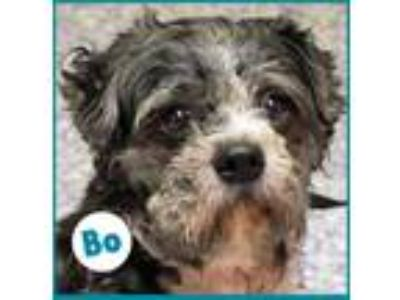 Adopt Bo a Black - with Gray or Silver Poodle (Miniature) / Schnauzer