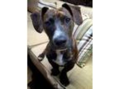 Adopt Vinnie a Brindle Dachshund / American Pit Bull Terrier / Mixed dog in