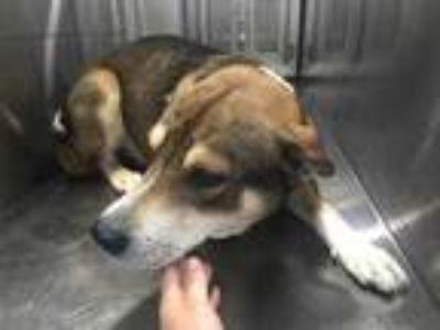 Adopt Shep a Brown/Chocolate Husky / Shepherd (Unknown Type) / Mixed dog in