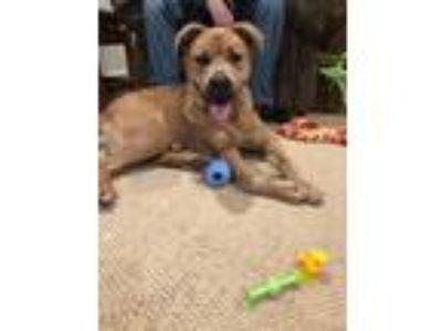 Adopt Sam a Golden Retriever / Golden Retriever dog in Maryville, TN (25561808)