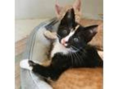 Adopt Dinah a Calico or Dilute Calico Domestic Shorthair / Mixed cat in Oakland