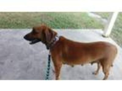 Adopt Bonney a Brown/Chocolate - with White Labrador Retriever / Collie / Mixed