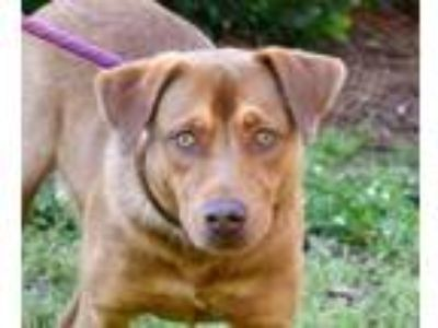 Adopt Paulie a Brown/Chocolate Labrador Retriever / Mixed dog in North Myrtle