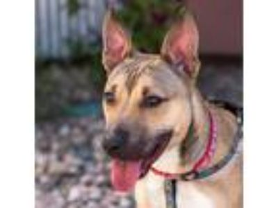 Adopt Bella a Shepherd (Unknown Type) / Bull Terrier / Mixed dog in Golden
