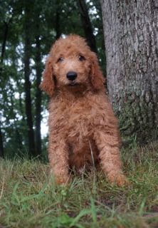 Poodle (Standard)-Goldendoodle Mix PUPPY FOR SALE ADN-89714 - ADORABLE DARK RED GOLDENDOODLE PUPPIES AVAILABLE