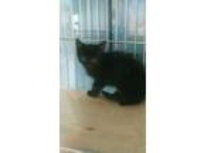 Adopt 42028278 a All Black Domestic Shorthair / Domestic Shorthair / Mixed cat