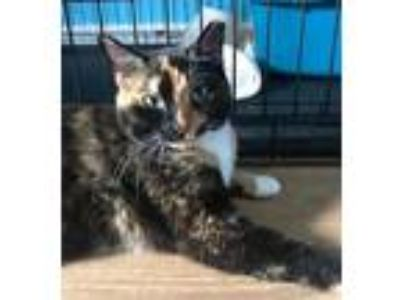 Adopt Skittles a Calico or Dilute Calico Calico / Mixed (short coat) cat in
