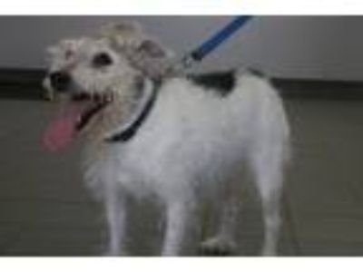 Adopt Abraham a Jack Russell Terrier