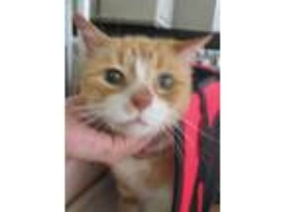 Adopt Tiger a Domestic Short Hair