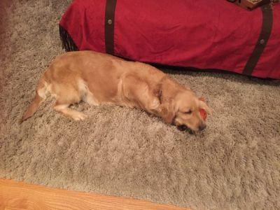 Golden Retriever PUPPY FOR SALE ADN-102176 - Reg Beautiful Golden Retriever puppies