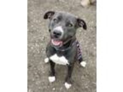 Adopt Callie a Gray/Silver/Salt & Pepper - with White Pit Bull Terrier / Mixed