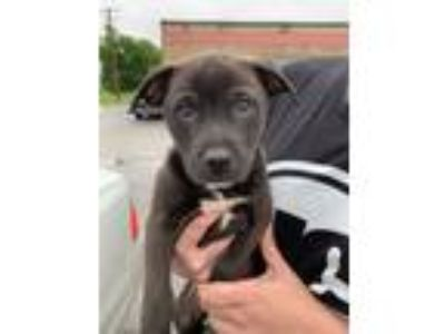 Adopt Hercules a Black - with White Labrador Retriever / Boxer / Mixed dog in