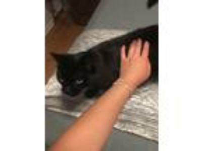 Adopt Snookie a All Black Domestic Shorthair / Mixed cat in Portland