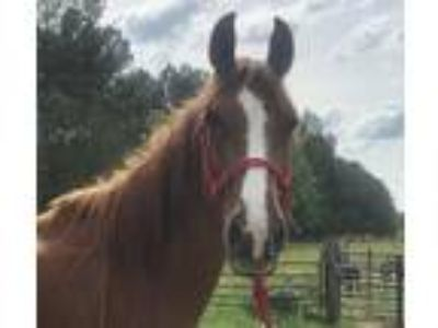 Adopt Cheerio a Chestnut/Sorrel Tennessee Walking Horse horse in Hohenwald