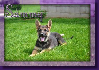 Sammy Female AKC German Shepherd