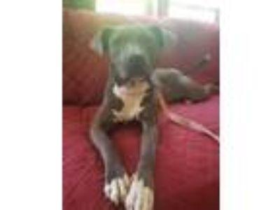 Adopt Choirs a Pit Bull Terrier