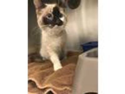 Adopt BLUE a Brown or Chocolate (Mostly) Siamese / Mixed (short coat) cat in