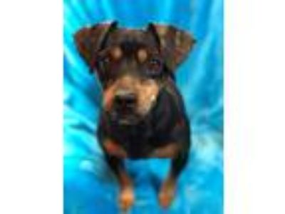 Adopt Bullet a Black - with Brown, Red, Golden, Orange or Chestnut Dachshund /
