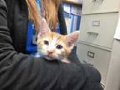 Adopt THOR a Orange or Red Tabby Domestic Shorthair / Mixed (short coat) cat in