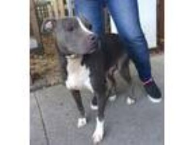Adopt Keely aka Beauty a American Staffordshire Terrier / Mixed dog in Baton