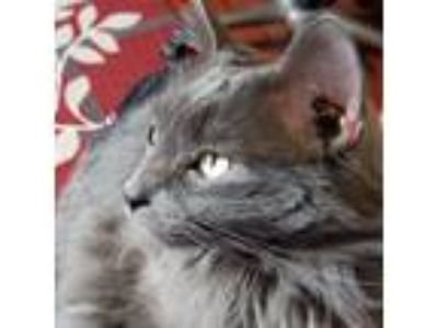 Adopt Chloe a Gray or Blue Domestic Longhair / Mixed cat in Springfield