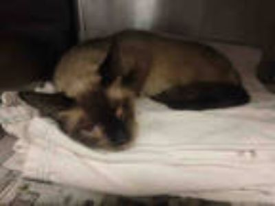Adopt LIALA a Brown or Chocolate Siamese / Mixed (short coat) cat in Van Nuys