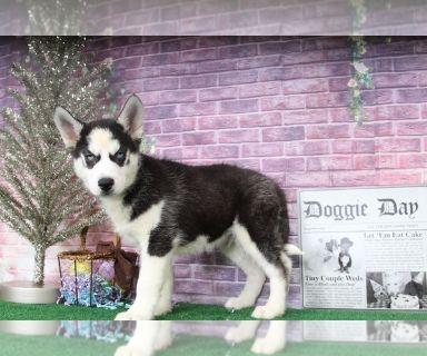 Siberian Husky PUPPY FOR SALE ADN-128118 - Blue Adorable Male Husky Puppy
