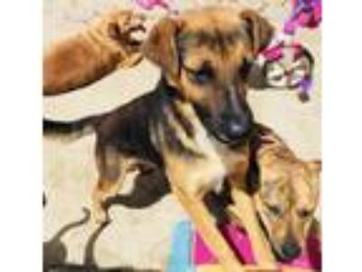 Adopt AXEL a Black - with Tan, Yellow or Fawn Labrador Retriever / German