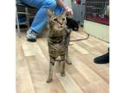 Adopt Tommy a Brown Tabby Bengal (short coat) cat in Wheaton, IL (25487424)