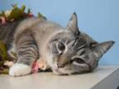 Adopt Taz a Snowshoe / Mixed cat in Portland, OR (25279555)