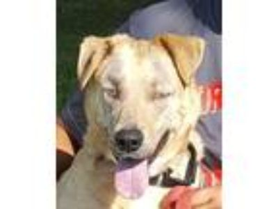 Adopt Ceelo a Yellow Labrador Retriever