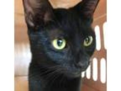 Adopt Gypsy a Domestic Shorthair / Mixed (short coat) cat in Logan