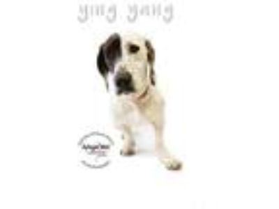Adopt Ying Yang a Catahoula Leopard Dog, Basset Hound