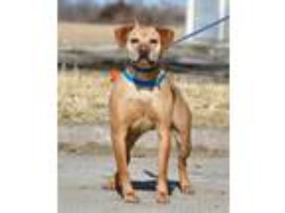 Adopt Rocket a Tan/Yellow/Fawn Labrador Retriever / Mixed dog in Ottumwa