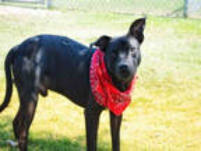 Adopt RON a Black - with White Manchester Terrier / Mixed dog in Texas City