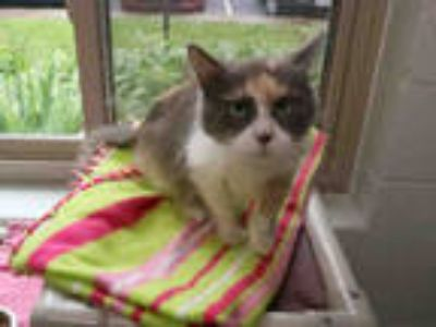 Adopt TOPEKA a Calico or Dilute Calico Domestic Longhair / Mixed (long coat) cat