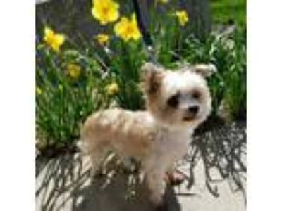 Adopt Skippy a White Shih Tzu / Mixed dog in Racine, WI (25269666)