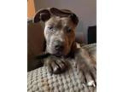 Adopt Brady a Gray/Blue/Silver/Salt & Pepper Pit Bull Terrier / Mixed dog in