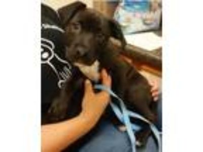 Adopt Keegan a Black - with White Pit Bull Terrier / Mixed dog in Dallas