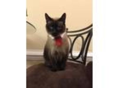 Adopt Sasser a Brown or Chocolate (Mostly) Siamese cat in Grimesland
