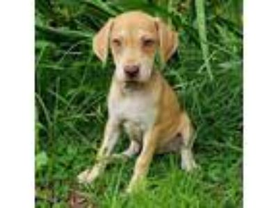 Adopt Electra a Tan/Yellow/Fawn Catahoula Leopard Dog dog in Gainesville
